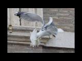 Голубей мира Папы Римского атаковали чайка и черный ворон